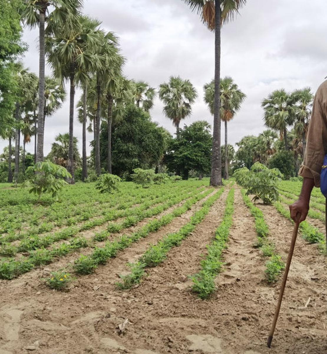 一个农民拄着拐杖站在郁郁葱葱的农田旁。